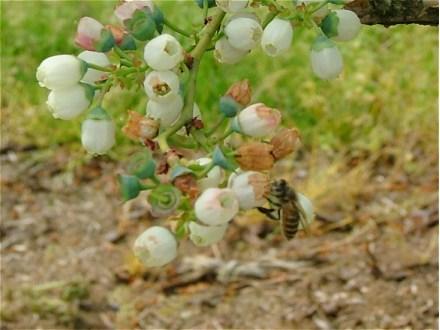 ブルーベリーの受粉に大忙しのミツバチくん