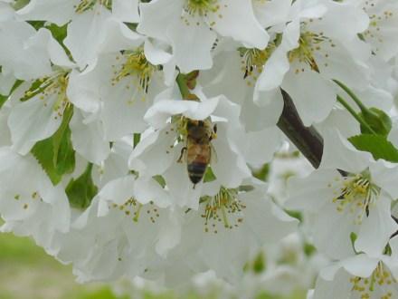 せっせとミツ集め&受粉の手助けに勤しむミツバチ
