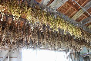 来年の豆の種が干されています
