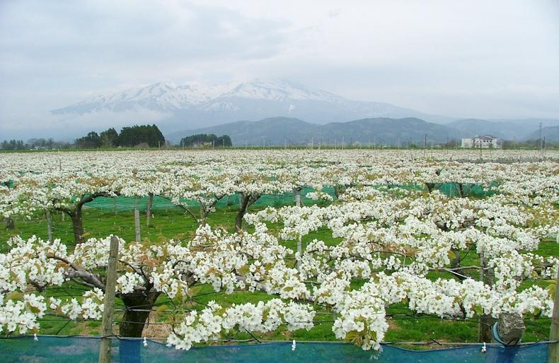 満開の刈屋梨の花と鳥海山