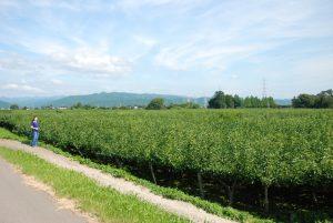 刈屋の梨畑