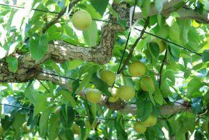 8月上旬の和梨の様子