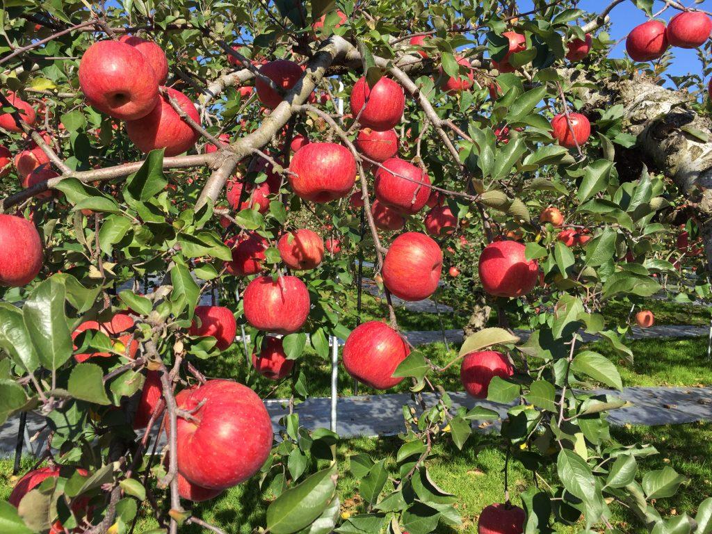 収穫直前のふじリンゴ2017