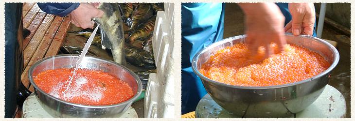 遊農くらぶ鮭孵化事業の紹介No.1